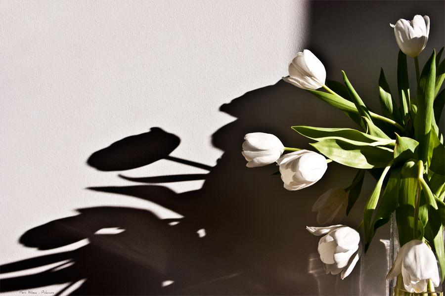 Bouquet de Tulipes blanches sur fond blanc et ombre hivernale