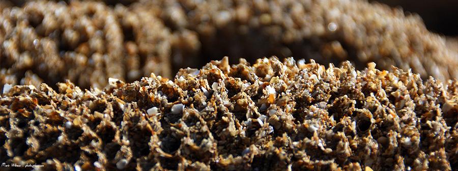 recif sable hermelles vers marins