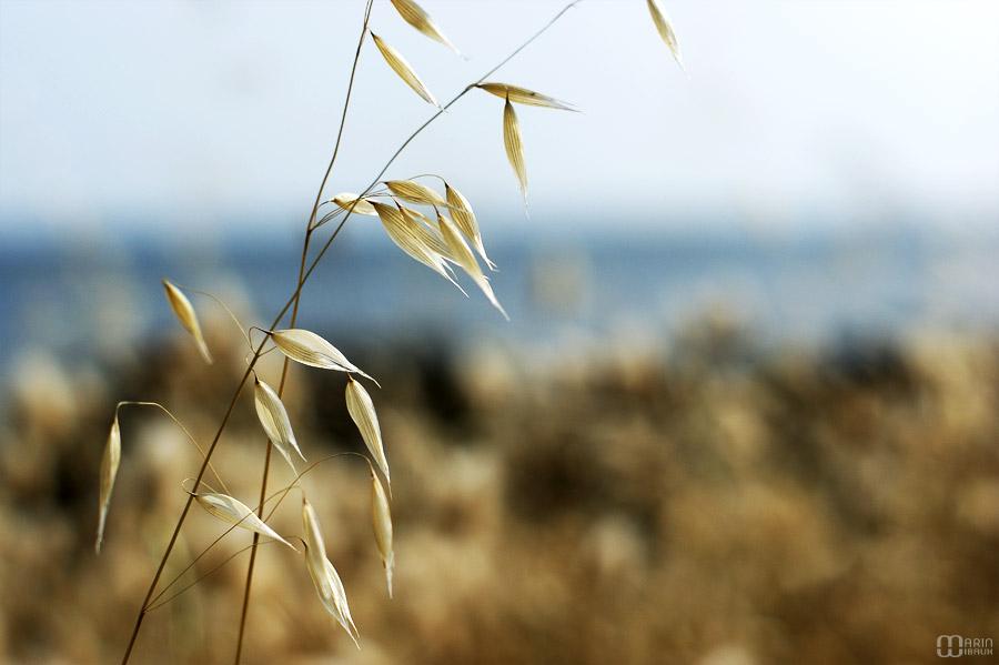 herbe folle en bord de mer