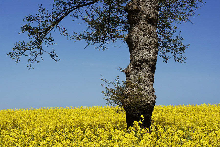 Chêne et colza