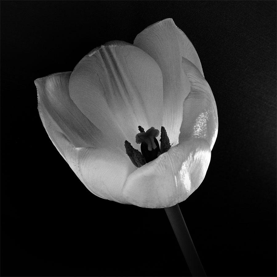 Tulipe en noir et blanc