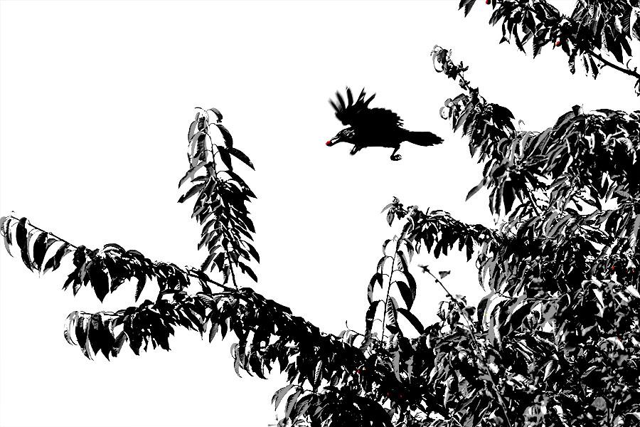Corneille en vol avec une cerise dans le bec