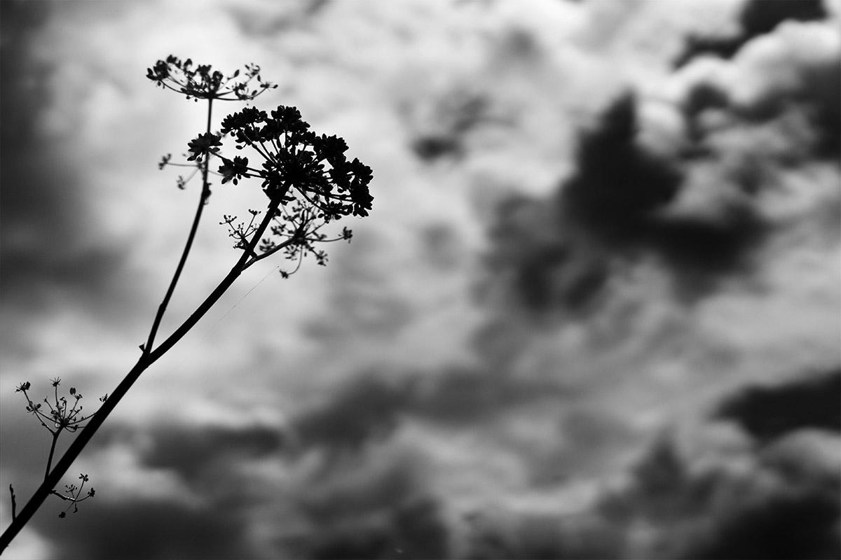 Une fleur de fenouil sauvage en contre-jour devant un ciel nuageux - photo noir et blanc