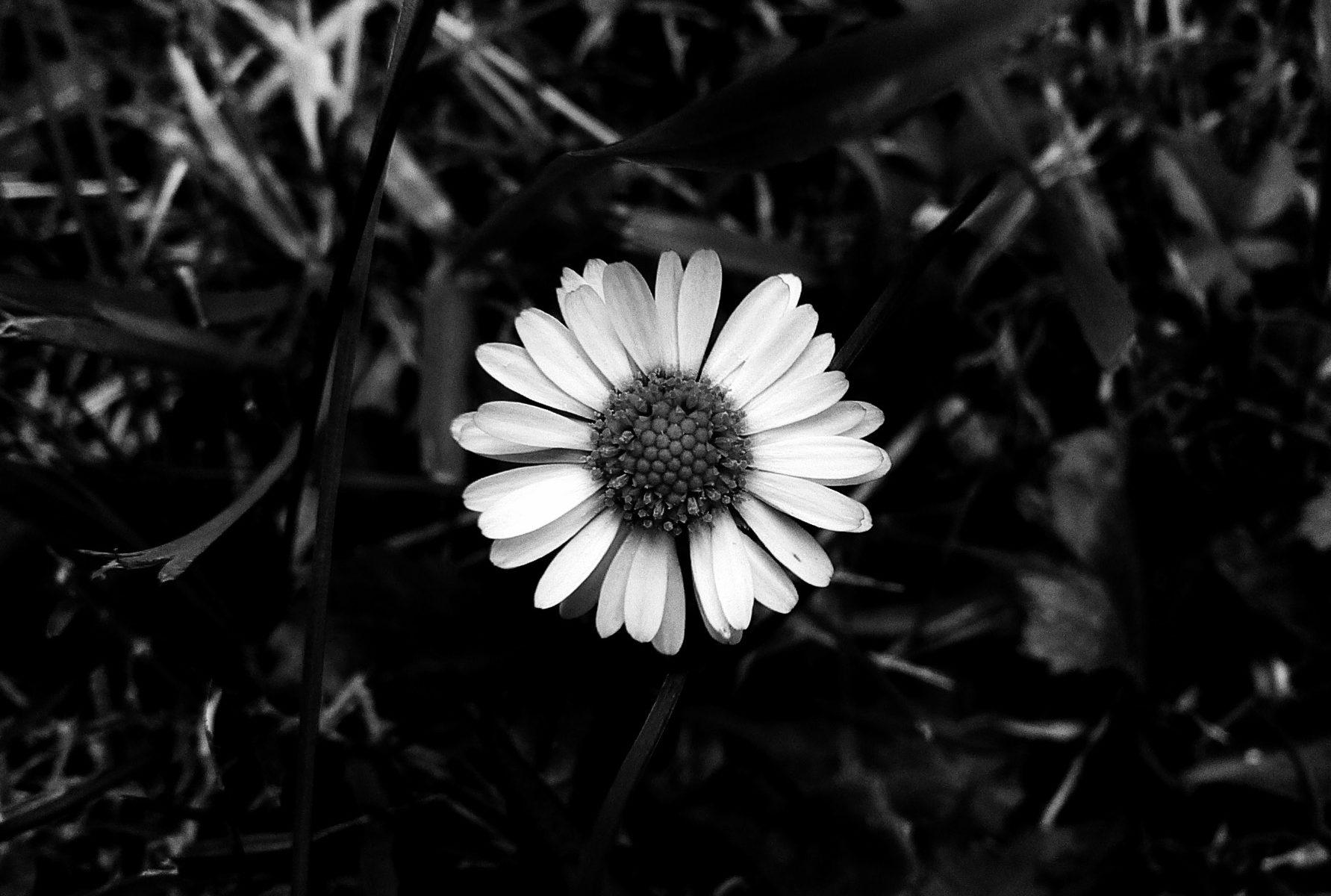 Pâquerette noir et blanc