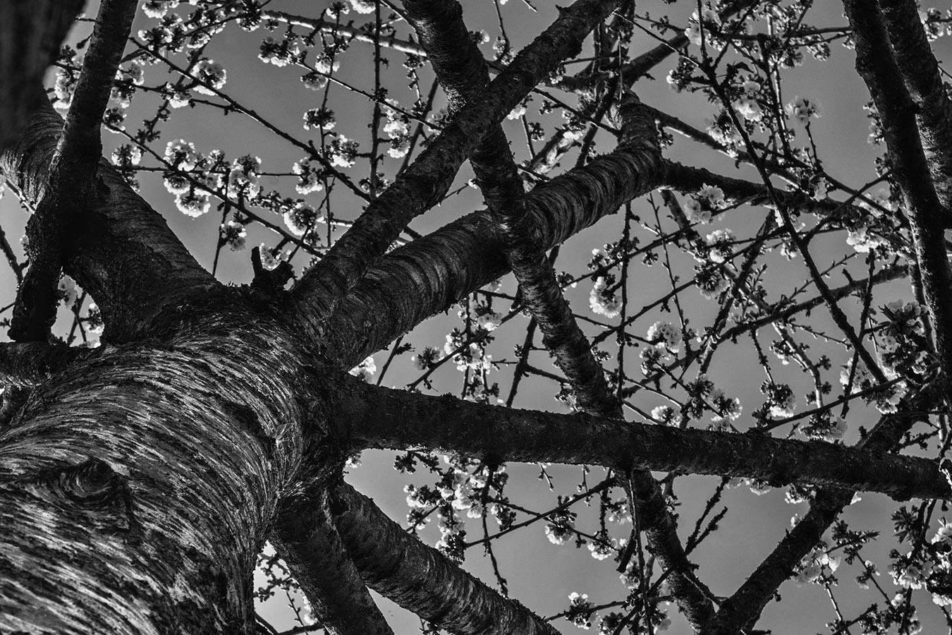 Un vieux cerisier en fleurs ; printemps en noir et blanc