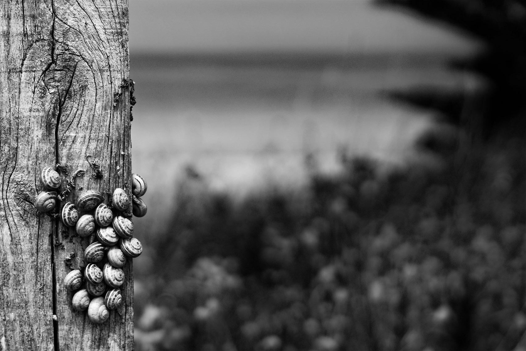 Escargots de dunes assemblés sur un ponton de bois à Sables-d'or-les-Pins