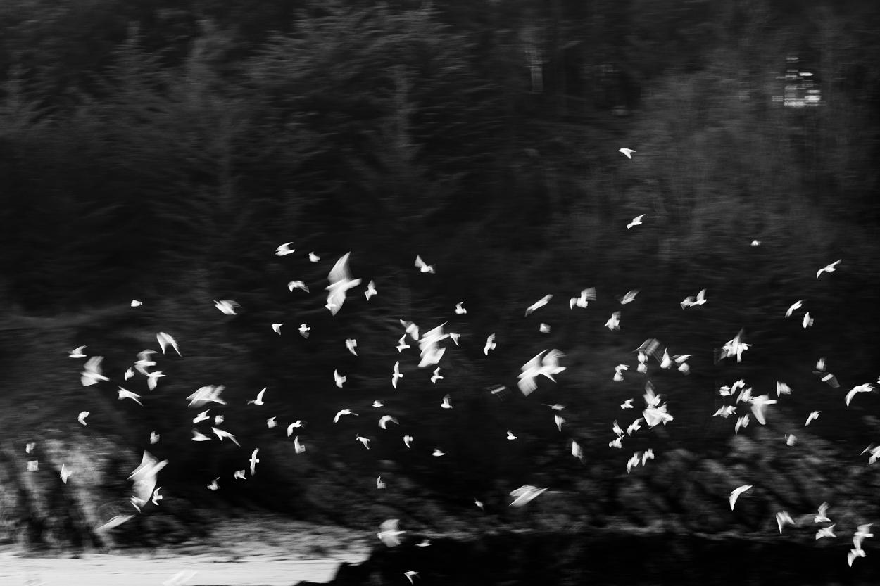 Vol de mouettes et goélands avec effet de flou de mouvement